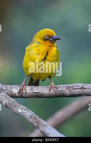 Cape Weaver (Ploceus capensis), World of Birds, Cape Town, South Africa - Stock Photo