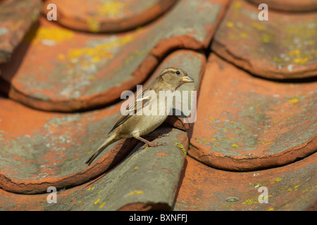Female house sparrow (Passer domesticus) on roof of old building - Stock Photo