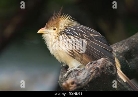 Guira Cuckoo Guira guira World of Birds Cape Town South Africa Captive - Stock Photo