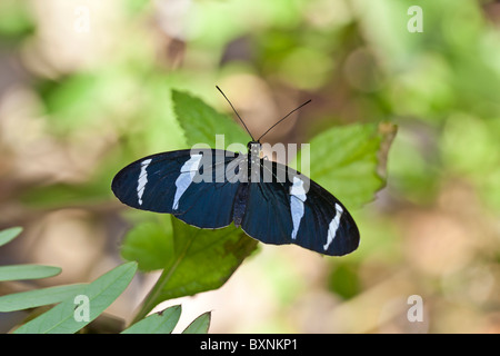 Blue Heliconius butterfly resting on leaf - Stock Photo