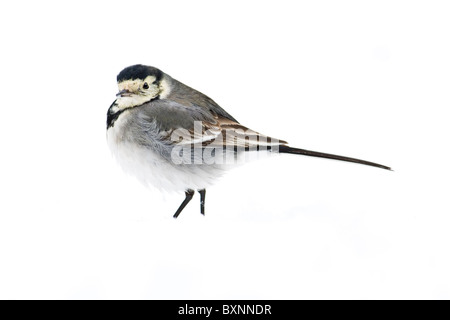 Pied Wagtail portrait on white background - Stock Photo