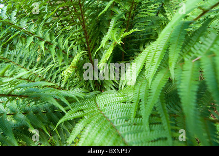 Common Bracken, Pteridium aquilinum. Lake District, UK - Stock Photo