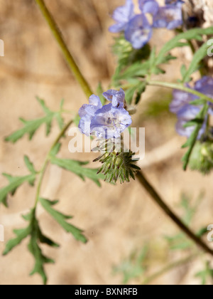 Probably a Blue Phacelia (Phacelia distans) - Stock Photo