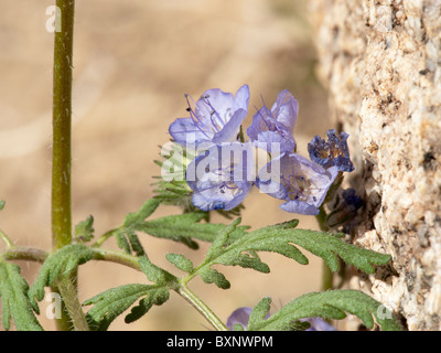 Probably a Blue Phacelia (Phacelia distans) - Stock Photo