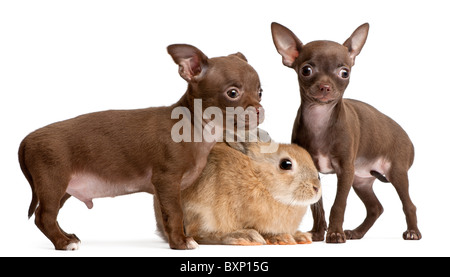 Two Chihuahua puppies and a rabbit, 10 weeks old, in front of white background - Stock Photo