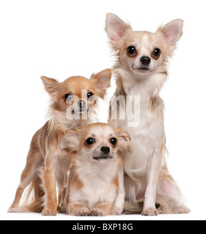 Chihuahuas, 9 months old, 2 years old, and 10 months old, in front of white background - Stock Photo