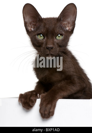 Havana Brown kitten, 15 weeks old, getting out of a box in front of white background - Stock Photo