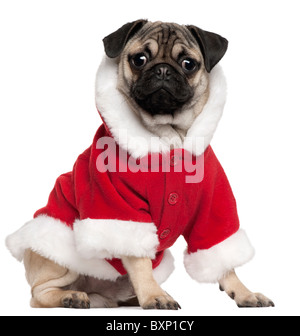 Pug puppy wearing Santa outfit, 6 months old, sitting in front of white background - Stock Photo