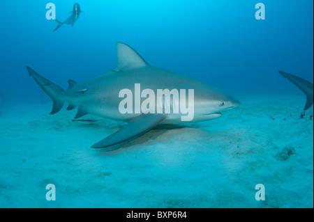 bull shark, Carcharhinus leucas, female, with remoras or sharksuckers, Echeneis naucrates, Playa  del Carmen, Mexico - Stock Photo