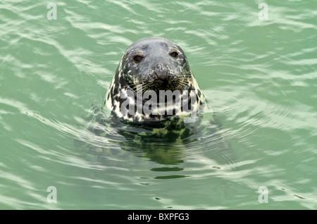 grey seal (halichoerus grypus) in Ireland - Stock Photo