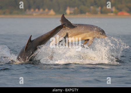 Three bottlenose dolphins (Tursiops truncatus) breaching in the Moray Firth, Scotland, UK - Stock Photo