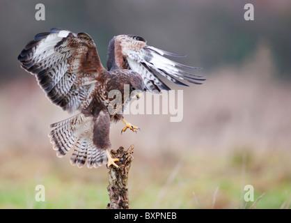Common Buzzard, Buteo buteo landing on dead tree stump - Stock Photo