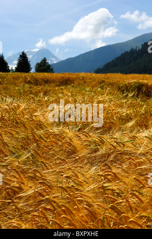 Golden ears of ripe barley on a field in the foothills of the Alps on sunny summer day, Orsieres, Valais, Switzerland - Stock Photo