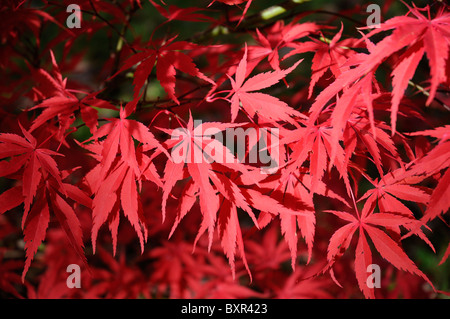 Sunlit Japanese Maple leaves - Stock Photo