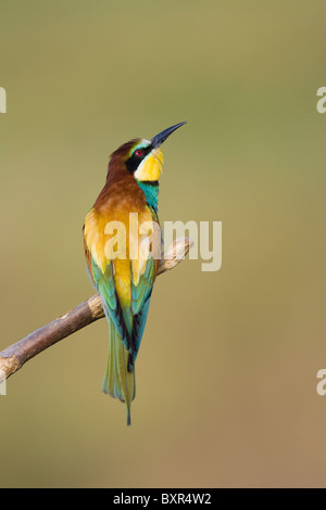 European Bee-eater (Merops apiaster) perched on a dead branch - Stock Photo
