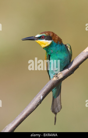 European Bee-eater (Merops apiaster) in alert posture perched on a dead branch