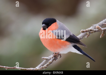male Eurasian Bullfinch (Pyrrhula pyrrhula) perched on a frost-covered branch - Stock Photo