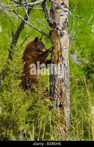 Cinnamon-colored Black Bear excavating cavity nest of woodpeckers (Northern Flicker). - Stock Photo