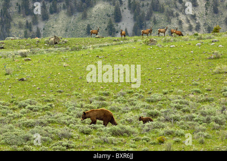 Cinnamon-colored Black Bear Mother and cub walking past herd of Elk. - Stock Photo
