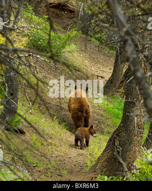 Cinnamon-colored Black Bear Mother walking forest trail with her cub. - Stock Photo