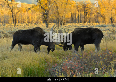 Bull Moose sparring at sunset in Grand Teton National Park. - Stock Photo