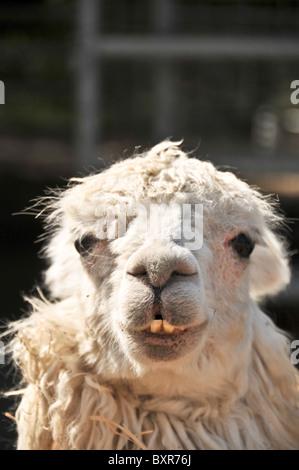 Humorous close-up of head of a white Alpaca - Stock Photo