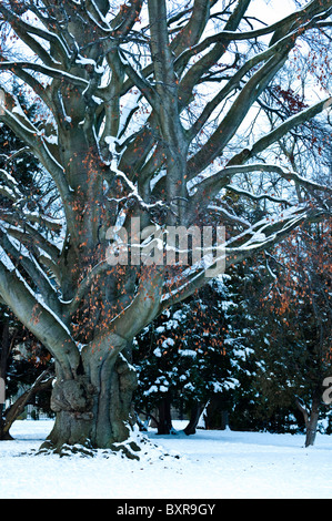 Mature Beech tree,in winter with snow laden  branches, and a few remaining gold / copper Autumn leaves. UK. - Stock Photo