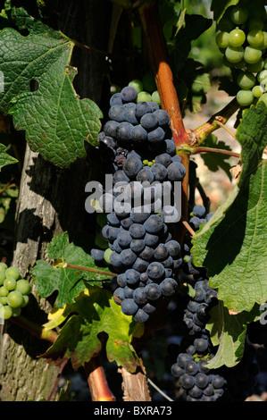 france, bordeaux, medoc vineyards, black grapes close up - Stock Photo