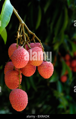 grappe of litchis on tree, La Reunion - Stock Photo