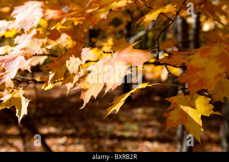 Autumn leaves on branch - Stock Photo