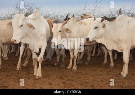 Cow herd, Nyangatom (Bumi) tribe, Omo river valley, Ehtiopia Africa - Stock Photo
