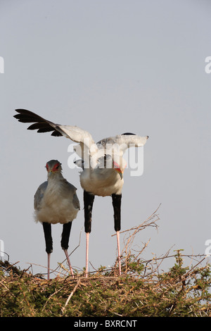 Secretary Bird and Fledgling in Nest - Stock Photo