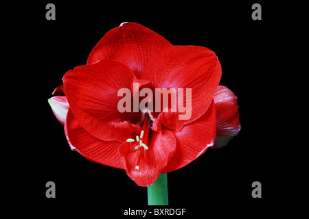 large red amaryllis flower on black background - Stock Photo