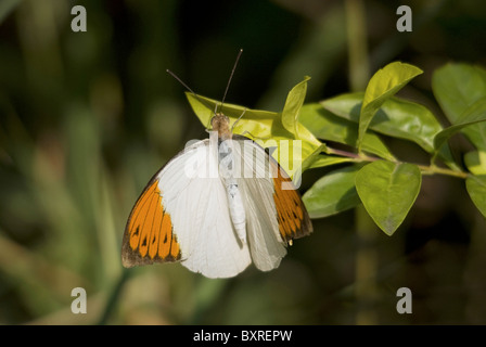 Orange-tip, Scientific name : Anthocharis cardamines Pieridae Male - Stock Photo