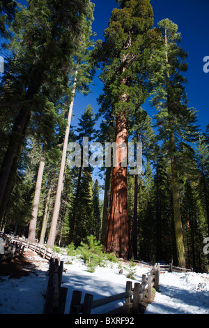 Redwood trees in Mariposa Grove, Yosemite National Park, California, United States of America - Stock Photo