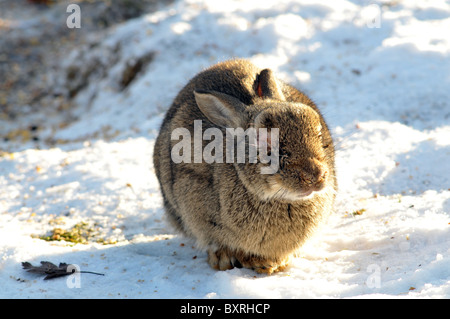 a wild rabbit close up with an advanced case of myxomatosis in an english garden during winter - Stock Photo