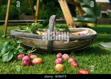 Plums in wooden trug on lawn - Stock Photo