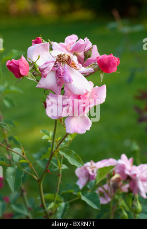 Withered rosy rose in a garden on a green grass background - Stock Photo