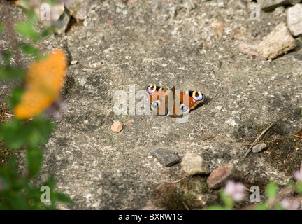 A European peacock (butterfly) that's landed on a stone patio eyespots are visible - Stock Photo