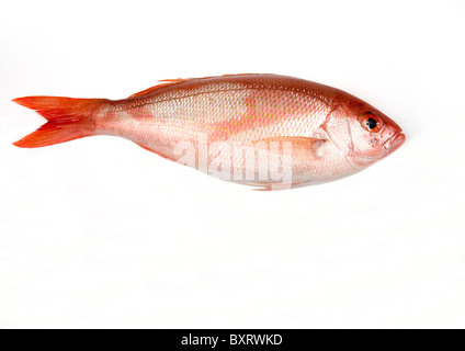 Red snapper (Lutjanus Camperchanus), close-up - Stock Photo