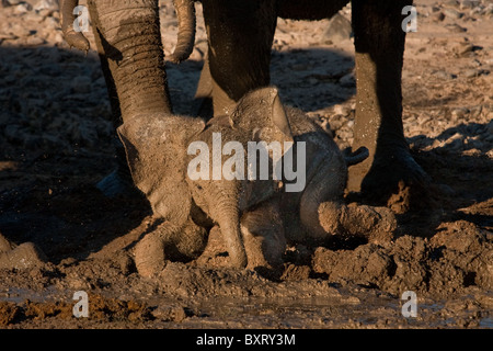 Young (guide estimates 3 or 4 months old) desert elephant discovers the joy of mud in the Hoarusib Valley near Purros, - Stock Photo
