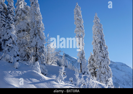 Spruce trees covered in fresh snow, Adelboden, Switzerland - Stock Photo