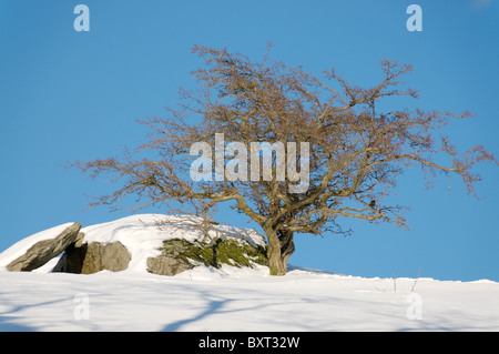 A Hawthorn tree in winter - Stock Photo