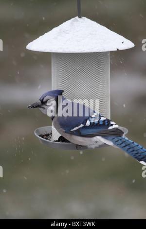 Blue Jay, Cyanocitta cristata, At bird feeder, New Jersey, USA - Stock Photo