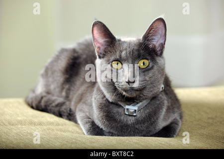 Domestic cat resting indoors looking at camera - Stock Photo
