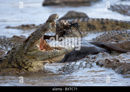 Africa Kenya Masai Mara Game Reserve Nile Crocodile (Crocodylus niloticus) feeding on Wildebeest kill in Mara River - Stock Photo