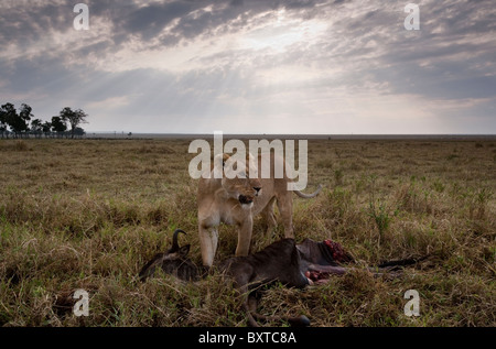 Africa, Kenya, Masai Mara Game Reserve, Lioness (Panthera leo) standing above Wildebeest kill on savanna in early - Stock Photo