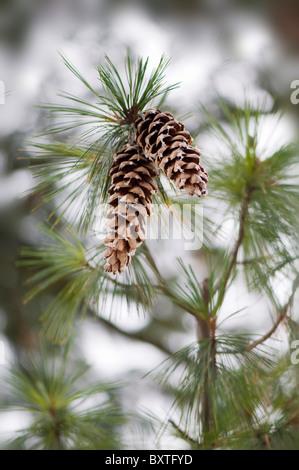 Pine cones on a tree - Stock Photo