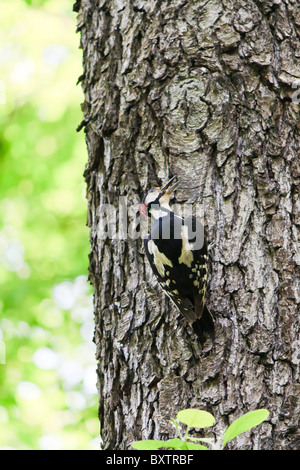 Middle spotted woodpecker on a tree in spring - Stock Photo