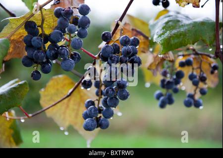 Concord grapes  - Stock Photo